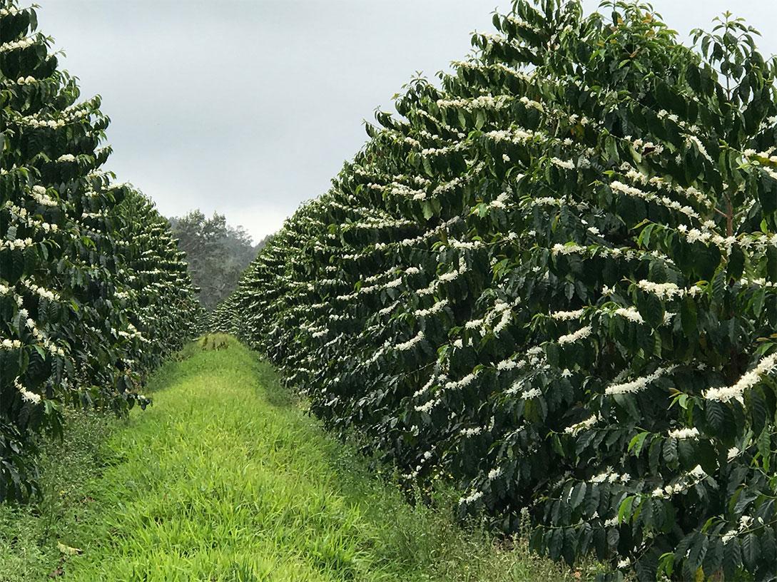 Coffee beans growing in field