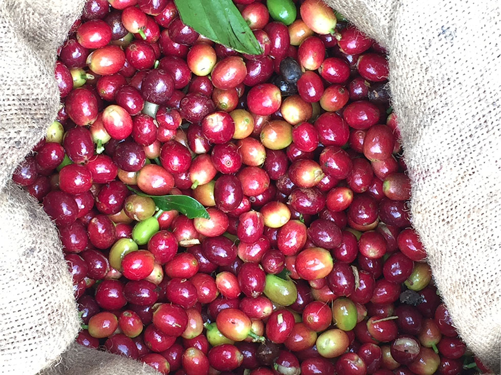 Coffee beans picked, in bag